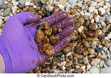 Oil Cleanup Worker Holding Rocks in Hand - An oil cleanup...
