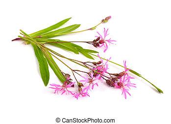 lychnis, flos-cuculi, comúnmente, llamado,...