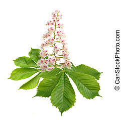 Aesculus flower isolated on white background.