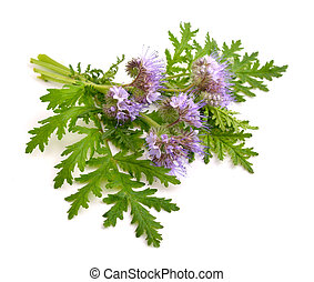 Phacelia tanacetifolia is a species of phacelia known by the...