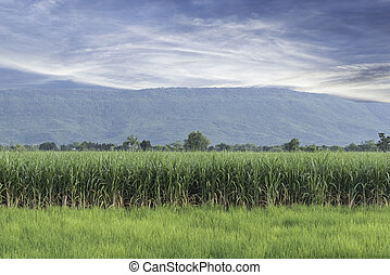 Sugarcane is grown on a farm against a backdrop of blue sky.