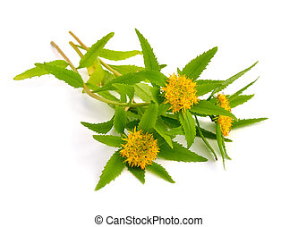 Rhodiola rosea flowers. - Rhodiola rosea (commonly golden...