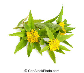 Rhodiola rosea (commonly golden root, rose root, roseroot,...