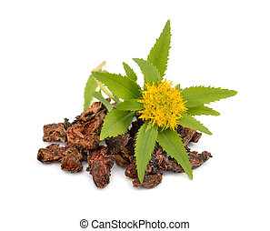 Rhodiola rosea, roots with flowers - Rhodiola rosea commonly...