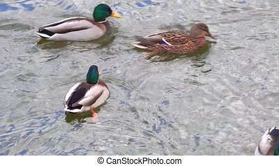 Duck and drake floating on the water clip