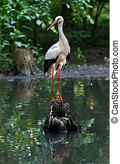 Stork in the nature habitat, climbed on a log in the middle...