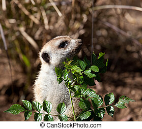 Small Meerkat peeping around leaves - Australian Meerkat...