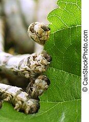 silkworms, manger, mûre, feuille,  closeup