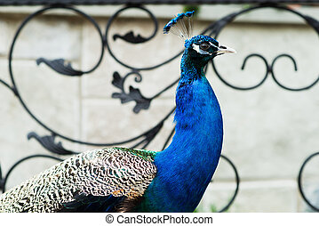 Varicolored peacock bird. - Varicolored peacock bird against...