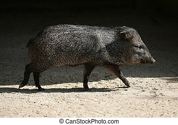 Little Pecari pig walking between sun shadows