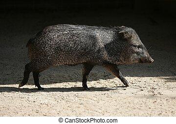poco, Pecari, cerdo, ambulante, entre, sol, sombras