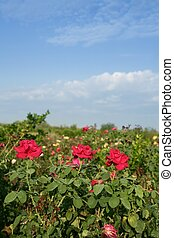 Agriculture of rose ornamental flowers field