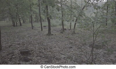 Misty dark deciduous fores - Video of misty dark deciduous...