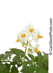 closeup russet potato plant flowers - isolated closeup...