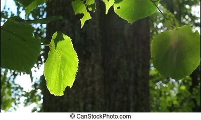 Leaves, light and shadow - Swinging in the wind leaves of...