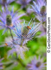 Eryngium, alpinum, (Blue, Star),
