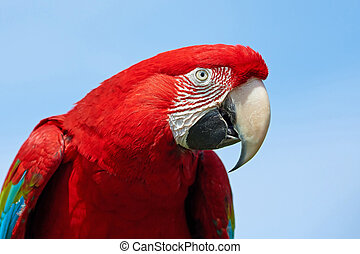 Green-winged macaw ( Ara chloropterus) - Closeup portrait of...