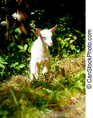 little baby goat on wild meadow on beautiful sommer day -...