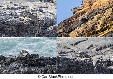 コラージュ, 島, ガラパゴス,  Iguanas