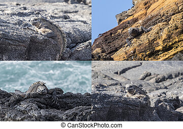 拼貼藝術, 島,  Galapagos, 鬣蜥