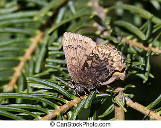 Hoary Elfin Butterfly - Callophrys polios