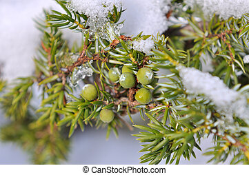 juniper berries under snow