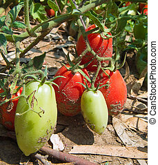 Growing tomatoes on the plant