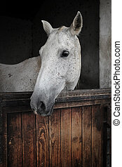 White Mare - White mare from portuguese Alter Real breed