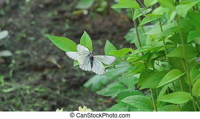 Aporia crataegi (Black-veined white butterfly)