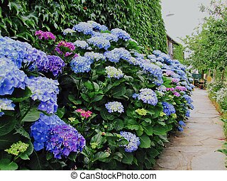 Hydrangea Exuberance - Hydrangeas bloom brightly against an...