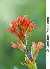 Red Indian Paintbrush in Red Rock Canyon, Alberta, Canada