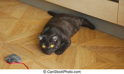 Gray scottish fold cat - Young scottish fold cat lying tired...