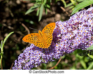 Argynnis paphia, male. On purple buddleia flowers. - Silver...