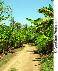dirt road through banana plantation Big Corn Island...