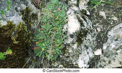 Close up of unique herb on the rock (Schivereckia) - Close...