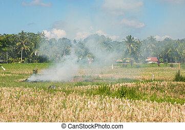 Slash and Burn on a Ricefield in Ubud, Bali