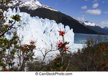 Fire bush at Perito Moreno Glacier, Los Glaciares National...