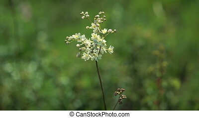 Garlic mustard (Alliaria petiolata) - Medicinal herb with...