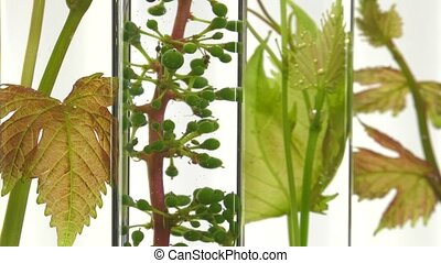 young vine shoots in test tubes - Slow focus changing on...