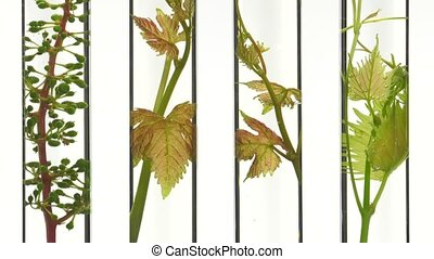young vine shoots in test tubes - slow tilt on four tubes