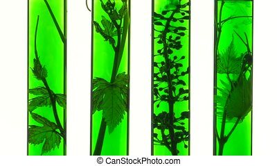 young vine shoots in test tubes - close up against the light...