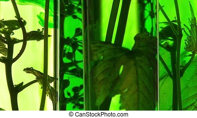 young vine shoots in test tubes