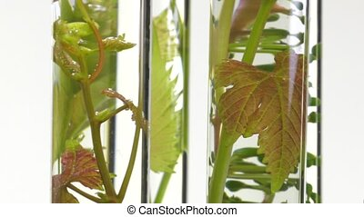 young vine shoots in test tubes - four test tubes on a...