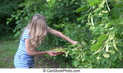 woman gathering fresh linden flower in park. Seasonal herbal...