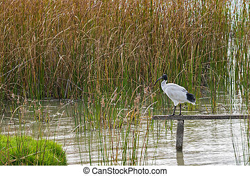 Australian White Ibis standing on wooden pole above Lake...