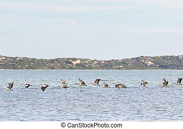 Large Australian Pelican water birds flying in line at Coorong national park? South Australia