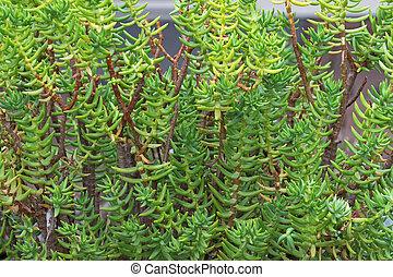 Miniature pine tree, Crassula tetragona, succulent plant...