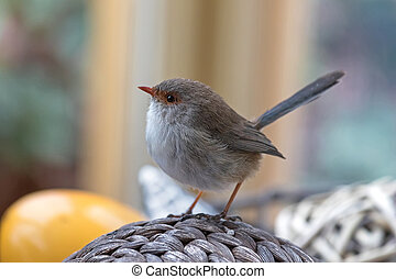 Cute little Superb Fairy Wren bird with wet feathers...