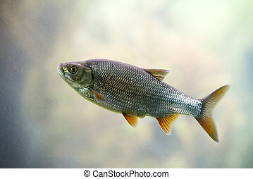 Freshwater fish Common Roach