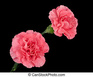 Pink Carnations - Two pink carnations on a black background